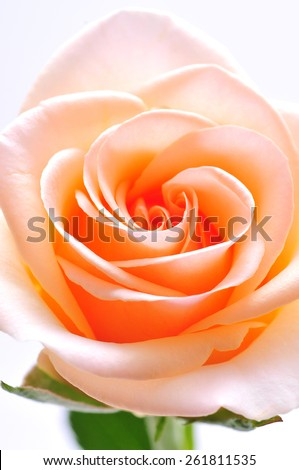 center of rose - stock photo