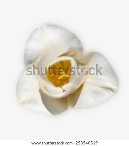 center white tulips isolated top view - stock photo