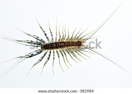Centipede insect - stock photo