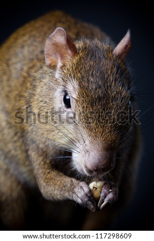 Central American agouti (Dasyprocta punctata) in studio of a black background