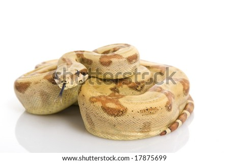 Central American Boa (Boa constrictor imperator) on white background. - stock photo