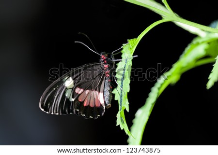 Central American Cattleheart Butterfly (Parides iphidamas) on a leaf against a black background. - stock photo