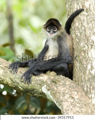 central american geoffroys spider monkey or mono arana adult sitting in tree, drake bay, costa rica, latin america. exotic primate in lush tropical jungle - stock photo