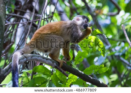 central american squirrel monkey on a tree in the central pacific rain forest in Costa Rica
