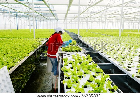 CENTRAL AREA , CHILE- July, 29, 2014: Women working manually industrial plant hydroponic lettuce - stock photo