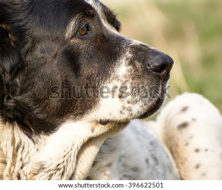 Central Asian shepherd dog lying on the lawn. Day. - stock photo
