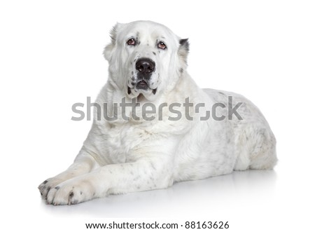 Central Asian Shepherd Dog on a white background
