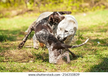 Central asian shepherd dog playing with german pointer dog - stock photo