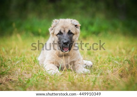 Central asian shepherd puppy in summer