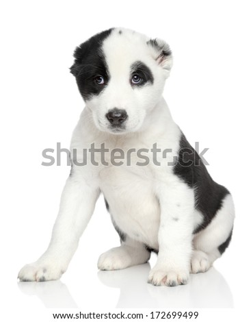 Central asian shepherd puppy sits on a white background