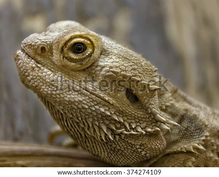 Central bearded dragon in Budapest Zoo - stock photo