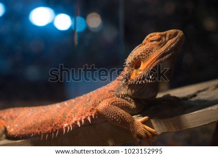Central bearded dragon (Pogona vitticeps) on top of rock