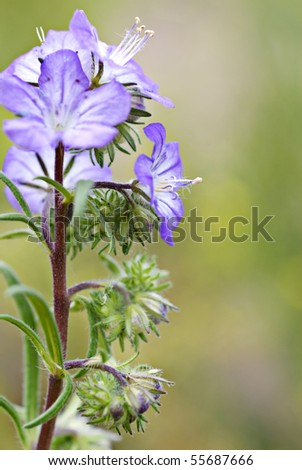 Central Oregon wildflower - Blue Phacelia distans - Wild heliotrope - Scorpionweed - stock photo