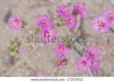 Central Oregon wildflower, Cusicks Monkeyflower, Mimulus cusikii, growing in the high desert.  Very shallow depth of field. - stock photo