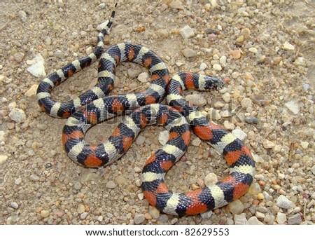 Central Plains Milk Snake, Lampropeltis triangulum gentilis - stock photo
