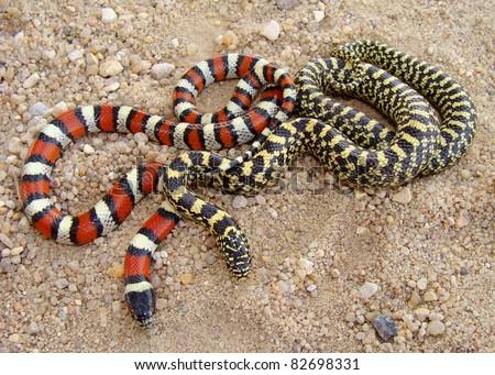 Central Plains Milk Snake, Lampropeltis triangulum gentilis and Speckled Kingsnake, Lampropeltis getula holbrooki x splendida - stock photo