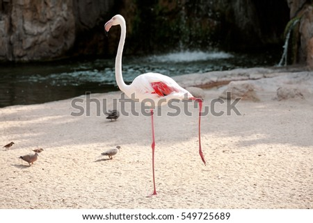 Centralized white flamingo bird in a beautiful ambient. A beautiful bird of paradise and animals Flamingo enjoying the sunny day. Lesser Flamingo standing on one leg.