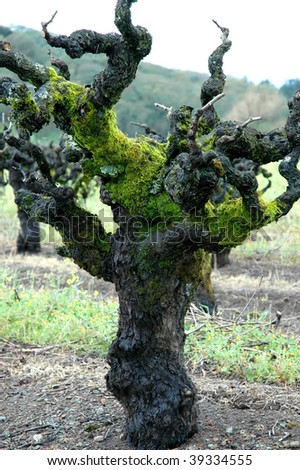 centuries old red zinfandel vine - stock photo