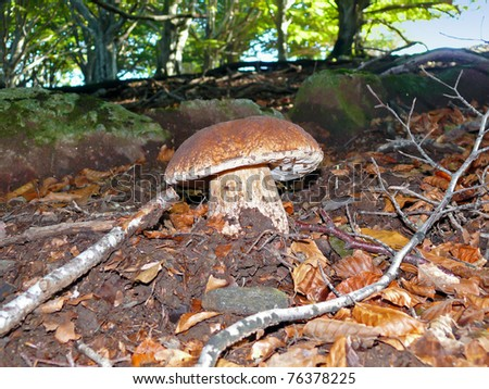 Cep mushroom in the forest with trees in background, Pyrenees Orientales, Roussillon, France - stock photo