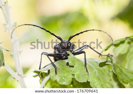 Cerambyx cerdo - a big black insect with big antennas who likes to eat oak tree bark. Here on chrysanthemum leaves - stock photo
