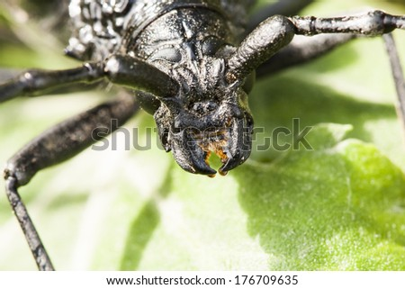 Cerambyx cerdo - a big black insect with big antennas who likes to eat oak tree bark. Macro details from the head - stock photo