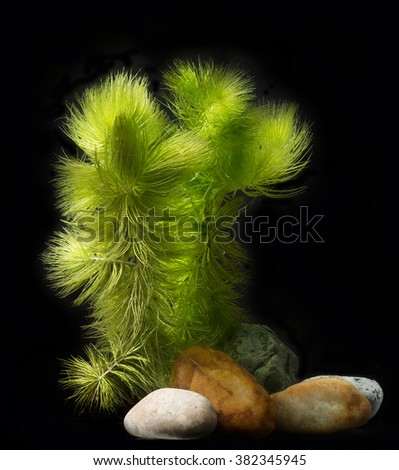 Ceratophyllum demersum - an aquarium plant - stock photo