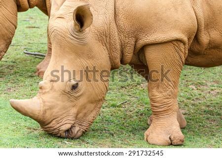 Ceratotherium simum. Close up White Rhino grazing. - stock photo