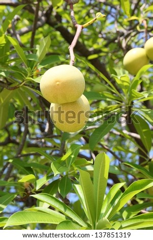 Cerbera oddloam fruit on tree .