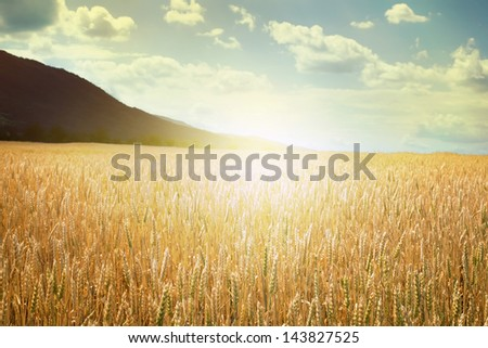 Cereal crops and sunlight. Cloudy sunset sky - stock photo