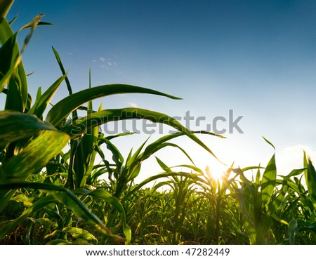 cereal field - stock photo