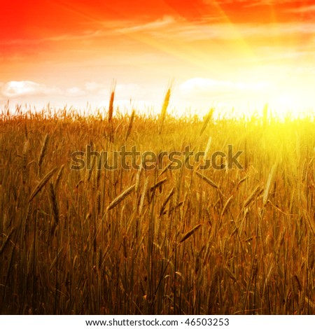 Cereal field and sunset. - stock photo