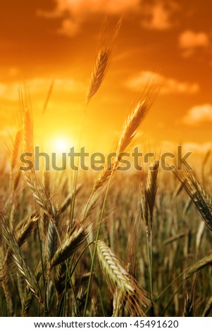 Cereal field at sunset. - stock photo