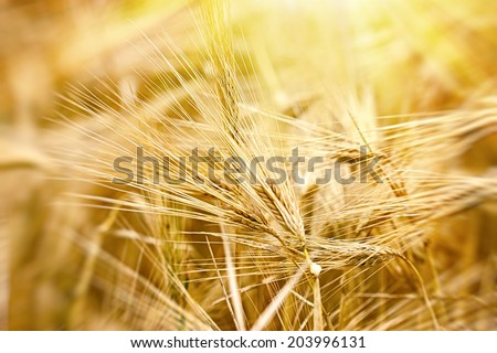 Cereal field - crop field in late afternoon - stock photo