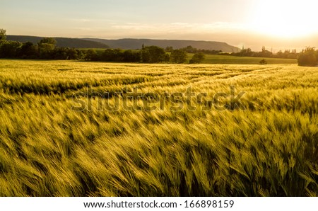 Cereal field in a sunny,windy day - stock photo