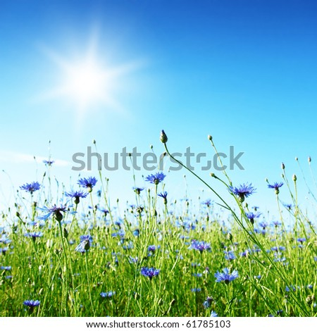 Cereal field with cornflowers and sun. - stock photo
