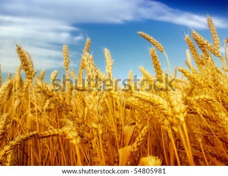 cereal plant - stock photo