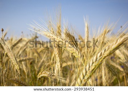 Cereal Plants, Rye, with different focus. Barley grain is used for flour, rye bread, and animal fodder. - stock photo