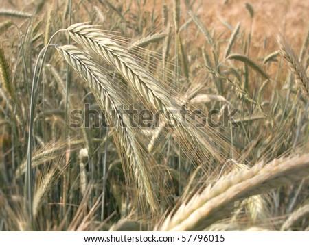 cereals closeup - stock photo