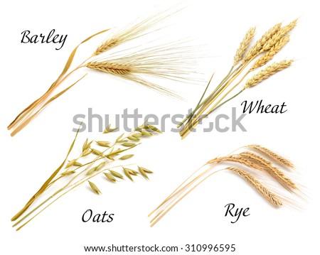 Cereals set isolated on white background. Oats, rye, wheat, barley.  - stock photo