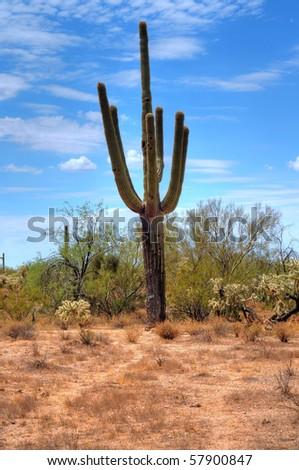 Cereus giganteus Saguaro cactus in the summer Arizona desert - stock photo