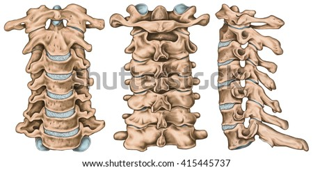 Cervical Spine Structure Vertebral Bones Cervical Stock Illustration ...