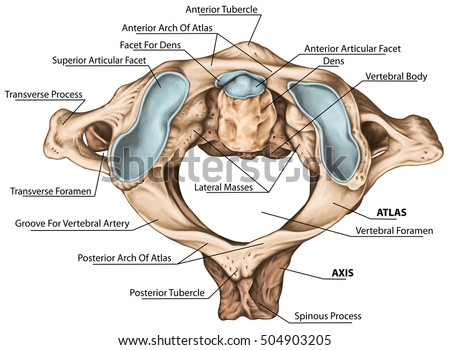 Vertebrae Stock Images, Royalty-Free Images & Vectors | Shutterstock