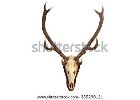 Cervus elaphus hunting trophy isolated over white background