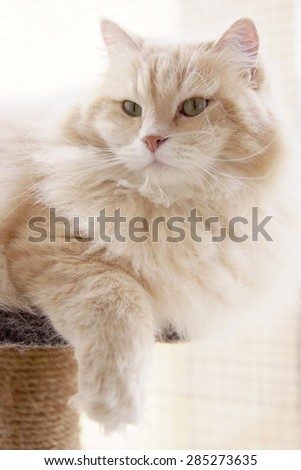 Cesare, a beautiful siberian male cat, is posing for one of his portraits. - stock photo