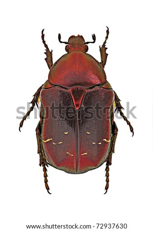 Cetonia aurata (red form) from Italy - stock photo