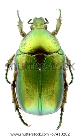 Cetonia aurata (rose chafer) isolated on a white background. - stock photo
