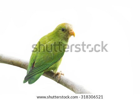Ceylon hanging-parrot isolated in white background ; specie Loriculus beryllinus - stock photo