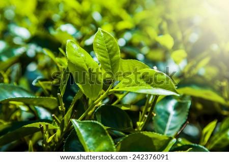 Ceylon Tea. Plantations in  Sri Lanka - stock photo