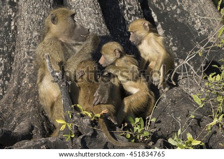 Chacma Baboon Family on the Chobe River in Kasane Botswana