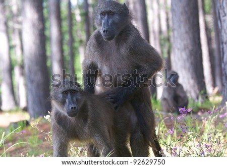 Chacma baboons Mating - stock photo